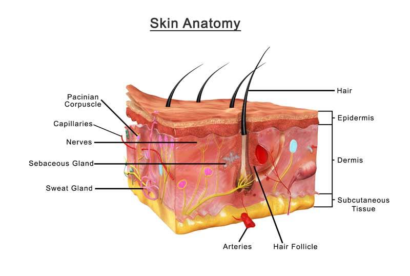 anatomija kože